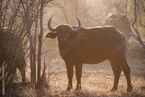 Staande foto Buffel A horizontal, full length, colour photograph of a Cape buffalo cow, Syncerus caffer, its silhouette outlined against golden back light, in the Greater Kruger Transfrontier park, South Africa.