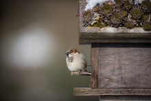Sparrow In Front Of Bird House...