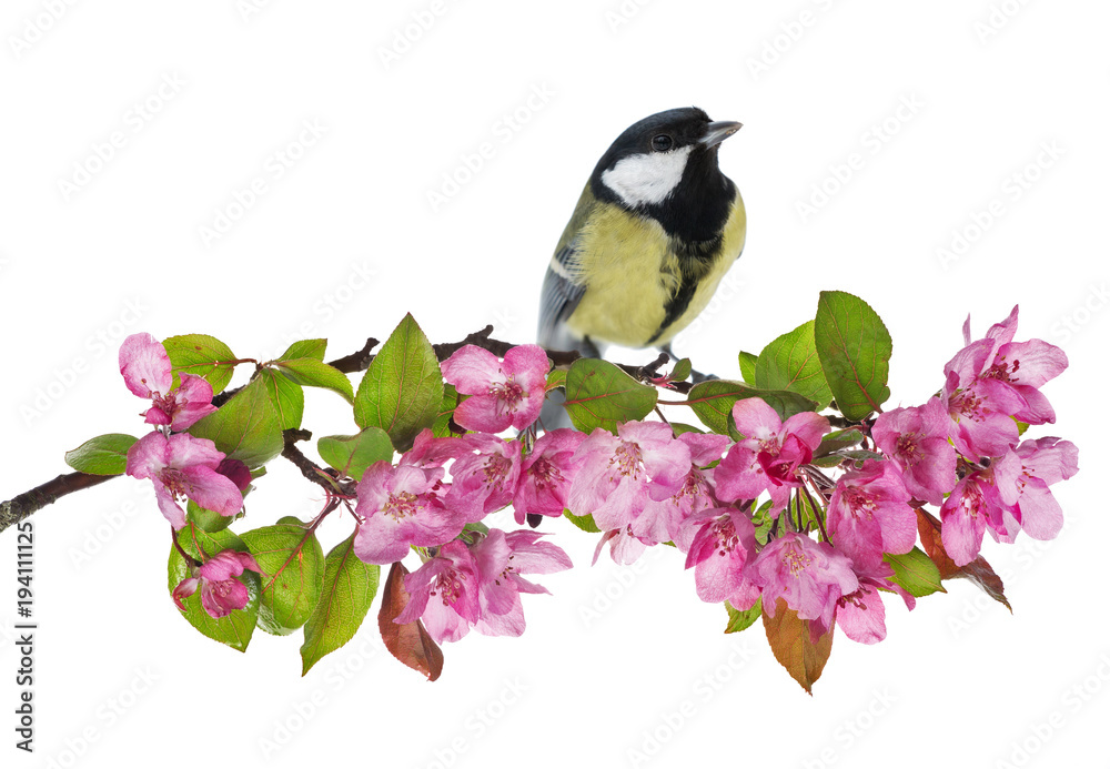 great tit on apple tree branch with pink flowers