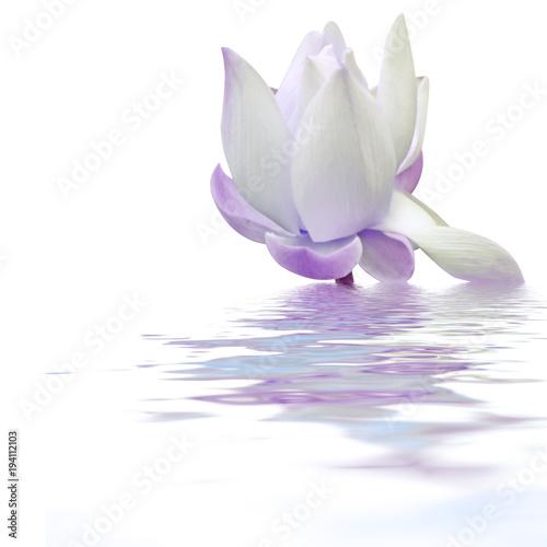 Obraz lilia wodna romantyczna-lilia-wodna