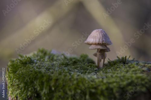 Fotografie, Obraz  champignon