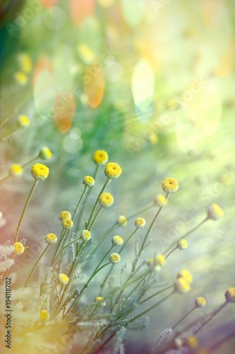Fototapety, obrazy: Selective focus on yellow flower in meadow - flowering in spring