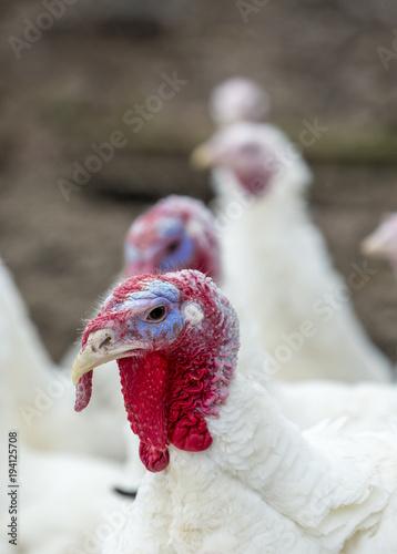 Turkey-poult