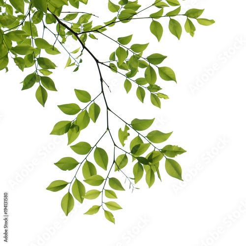 Fotografía  tree branch isolated