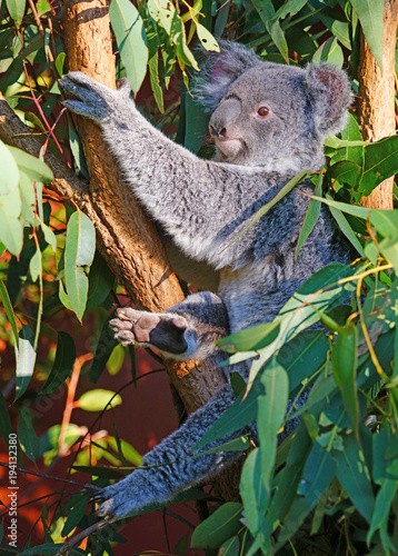 In de dag Koala A koala sleeping on a eucalyptus gum tree in Australia