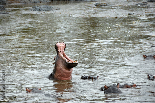 Hippo school at Seronera river, Tanzania, Africa