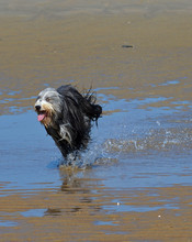 Bearded Collie Running Wild On...