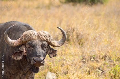Keuken foto achterwand Buffel Isolated buffalo in the savannah countryside of Nairobi Park in Kenya
