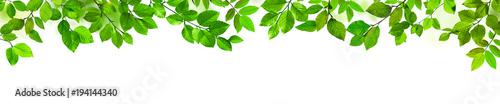 Fotografía  Grüne Blätter als Freisteller vor weißem Hintergrund