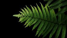 Green Leaves Fern Tropical Rai...