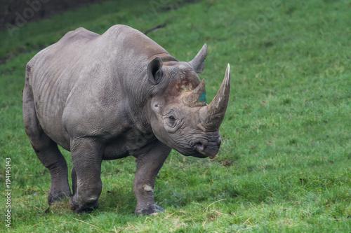 Poster Neushoorn photo of a majestic Black Rhino