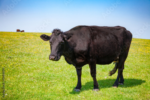 Photo English rural landscape with grazing Aberdeen Angus beef cattle