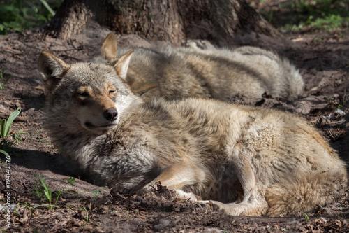 Printed kitchen splashbacks Ass sleppy wolves