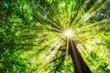 canvas print picture - Grüner Baum im Frühling mit Sonne im Gegenlicht