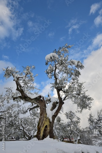 Albero di olivo con neve in inverno