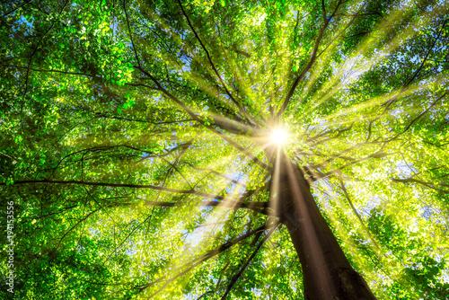 Foto  Grüner Baum im Frühling mit Sonne im Gegenlicht