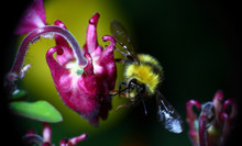 Bumble Bee In Flight After Pol...
