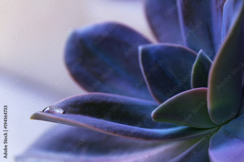 Fototapeta a drop of dew on a succulent plant