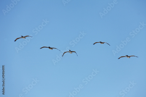 flying pelicans Poster