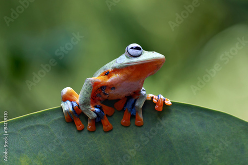 Tree frog, Javan tree frog on leaves, animal