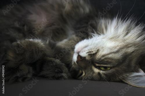 Photo sur Toile Croquis dessinés à la main des animaux cat enjoys life, lies resting close up