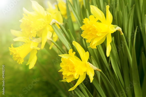 Deurstickers Narcis Beautiful blooming yellow daffodils are illuminated by sunlight