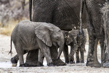 Baby Elephant Having A Mud Sho...