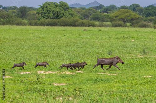 Warthogs in Tarangire National Park, Tanzania. Wallpaper Mural