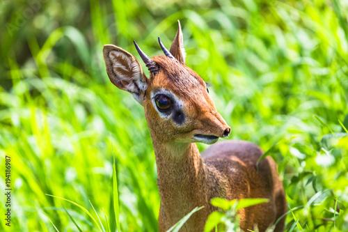 Poster Antilope Dik dik antelope in Tarangire National Park, Tanzania.