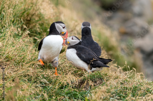Fotografia  The Atlantic puffin, also known as the common puffin