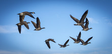 Canada Geese Flying In The Blue Sky