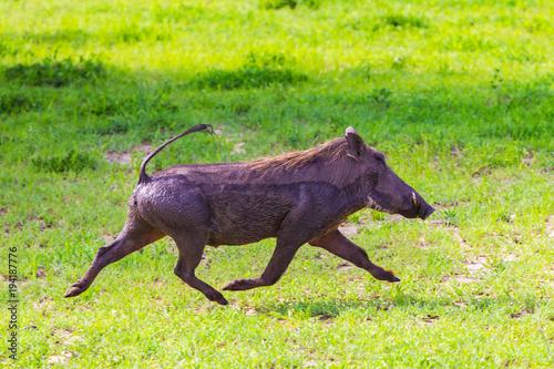 Photo  Warthogs in Tarangire National Park, Tanzania.
