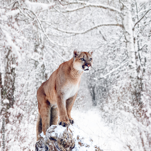 Poster Puma Portrait of a cougar, mountain lion, puma, panther, striking a pose on a fallen tree, Winter scene in the woods
