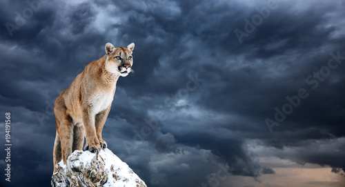 Stickers pour portes Puma Portrait of a cougar, mountain lion, puma, panther, striking a pose on a fallen tree