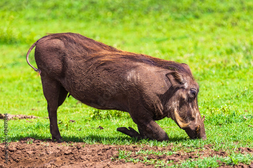 Photo  Warthogs in Ngorongoro Conservatio Area, Tanzania.