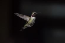 Annas Hummingbird (Calypte Ann...