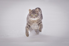 Domestic Cat Running In Snow O...