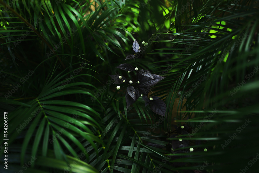 Fototapeta dark exotic fantastic portrait of green palm leaves plants and flower in Thailand. concept of travel, phone or laptop wallpaper background