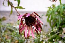 Wilted Pink Flower In Autumn