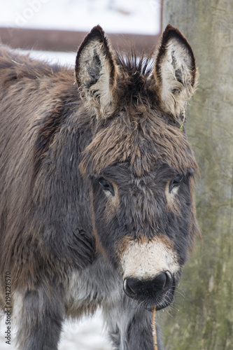 Staande foto Ezel A donkey eating a bark from a twig.