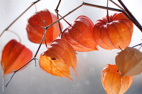 Photo  Red orange dry physalis alkekengi lanterns