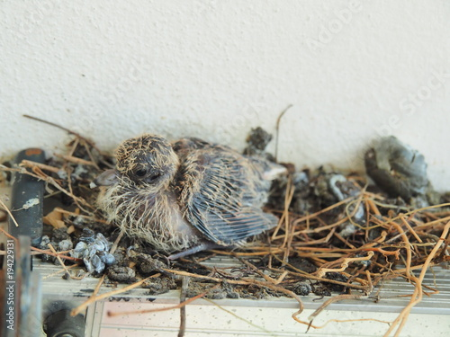 Baby pigeon leaving in nest