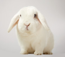 Cute Little Fluffy White Lop E...