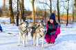 Girl playing with siberian Husky resting in snow after race. Sled dogs husky harnessed to sports sledding with dogsled on skis. Sports races for animals in sleds harness in snowy winter Park