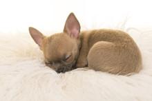 Cute Chihuahua Puppy Sleeping On A White Fur
