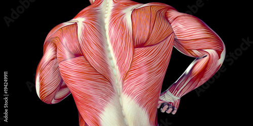 Fotomural Human Male Body Anatomy Illustration with visible muscles