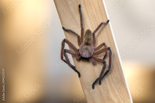 Fotomural Huntsman spider on a piece of timber waiting for a prey.
