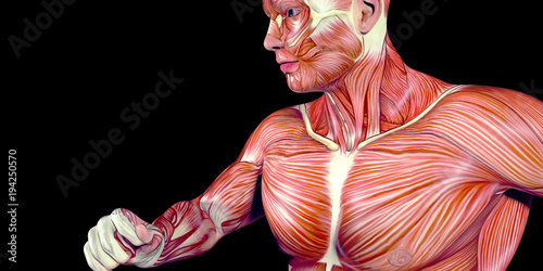 Fotografie, Obraz  Human Male Body Anatomy Illustration with visible muscles