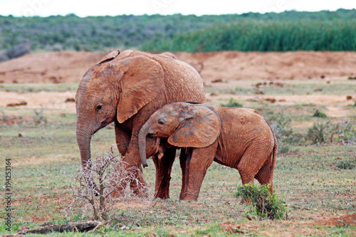 Two little Elephants, South Africa Canvas Print