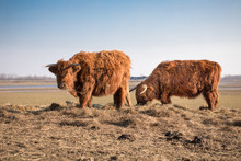 Scottish Highland Cattle On Dutch Polders. Nature Park In Holland, Meadows Between Rivers, Canals, Pools, And Overflow Areas.